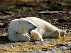 В Ижевском зоопарке появился на свет белый медвежонок