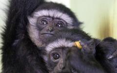 В Ижевском зоопарке появились чернорукие гиббоны