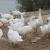 В Удмуртии открылась первая ферма по разведению гусей