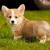 Жительница Глазова лишилась денег при покупке щенка через интернет