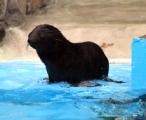 В Ижевском зоопарке родилось два морских котика