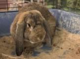 Выставка кроликов