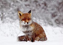 В Глазове местные жители подкармливают лисёнка