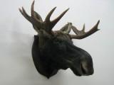 Браконьеры убили трех лосей в Глазовском районе