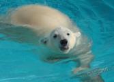 Белый медведь из ижевского зоопарка переехал в Ростов
