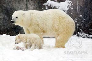 В ижевском зоопарке объявлен конкурс на имя для белого медвежонка