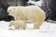 Новорожденный белый медвежонок появился на публике