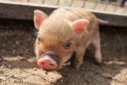 В Ижевском зоопарке родилось пять мини-пигов