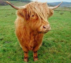 Мини-коровы могут стать одним из новых символов животноводства