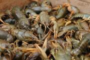 В Удмуртии у браконьеров изъяли шесть тысяч живых раков