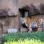 В Ижевском зоопарке амурские-тигрята близнецы вышли на прогулку со своей мамой