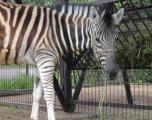 В Ижевском зоопарке появилась зебра