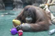 Обитатели ижевского зоопарка получили свои подарки