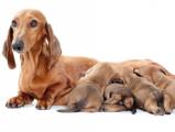 Сопровождение беременности у домашних питомцев
