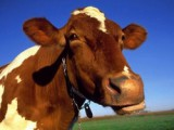 В Удмуртии выросло валовое производство молока