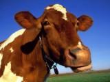 Производство молока в Удмуртии увеличилось на 5,8 процента