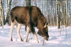 48 лосей в Удмуртии стали жертвами браконьеров