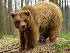 В Удмуртии ликвидировали медведя, растерзавшего жителя Воткинска