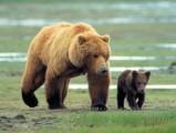 В Глазовском районе застрелили медведя, который терроризировал селян