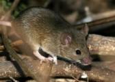 В Удмуртии мышиную лихорадку подхватило уже почти 80 человек
