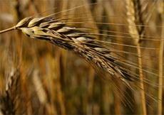 Площадь гибели зерновых культур в Удмуртии превысила 84 тысячи гектаров