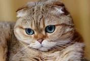 Кошки шотландцы стали самой популярной породой в России