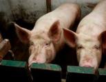 В Удмуртии свиньи съели свою хозяйку