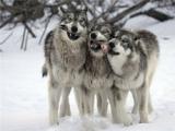 На автодороге между Омутнинском и Глазовом заметили двух крупных волков
