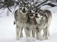 В Удмуртии волки напали на стадо коров